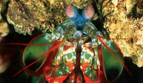 mantisshrimp_2.jpg