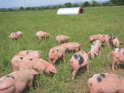 pigs-outside-field