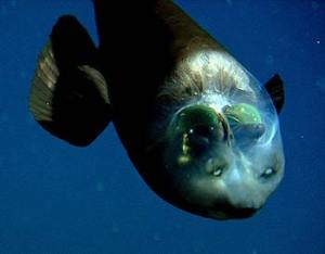 In this image, although the barreleye is facing downward, its eyes are still looking straight up. This barreleye is about 6 inches (140 cm) long. Credit: © 2004 MBARI