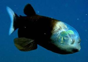 The barreleye (Macropinna microstoma) has extremely light-sensitive eyes that can rotate within a transparent, fluid-filled shield on its head. The fish's tubular eyes, well inside the head, are capped by bright green lenses. The eyes point upward (as shown here) when the fish is looking for food overhead. They point forward when the fish is feeding. The two spots above the fish's mouth are not eyes: those are olfactory organs called nares, which are analogous to human nostrils. Credit: © 2004 MBARI