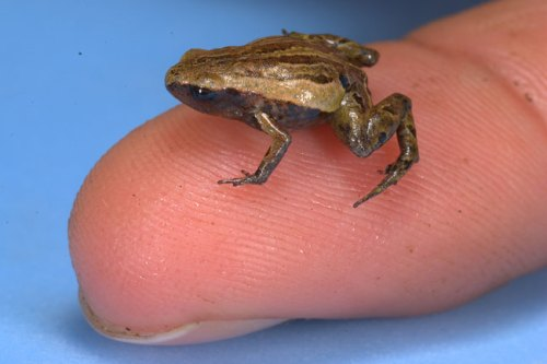 Noblella pygmaea on a fingertip. The frog is about 0.45 inches (11.4 millimeters) long. Credit: Alessandro Catenazzi, University of California, Berkeley